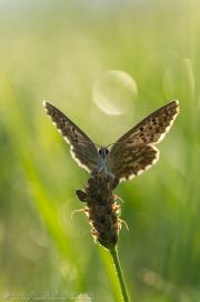 Lycaenidae butterfly in wet meadow
