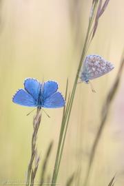 Himmelblauer Bläuling