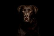 2X3A16711-Labrador-vor-schwarzem-Hintergrund