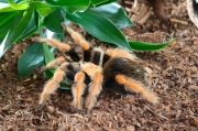 Brachypelma boehmei,Vogelspinnen, Theraphosidae